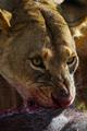 lioness - PhotoDune Item for Sale