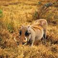 boar - PhotoDune Item for Sale