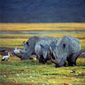 rhino - PhotoDune Item for Sale