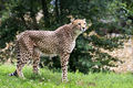 Cheetah in a clearing - PhotoDune Item for Sale