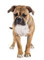 Continental bulldog in studio - PhotoDune Item for Sale