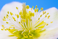 Macro of a christmas rose flower blossom - PhotoDune Item for Sale