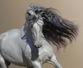 Close up portrait of white Andalusian horse with long mane flutters on wind. - PhotoDune Item for Sale