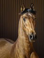 Golden dun young Andalusian horse on striped background. - PhotoDune Item for Sale