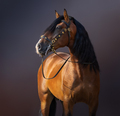 Spanish Horse in traditional baroque bridle on dark background. - PhotoDune Item for Sale
