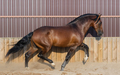 Bay Andalusian horse running in paddock. - PhotoDune Item for Sale