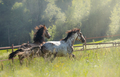 Herd of Spanish horses walks in field. Two stallions galloping on pasture. - PhotoDune Item for Sale