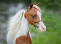 Portrait closeup of paint American Miniature Horse. - PhotoDune Item for Sale