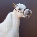 American Miniature Horse. Square portrait. - PhotoDune Item for Sale