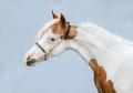 Portrait of paint American Miniature Horse on blue background. - PhotoDune Item for Sale