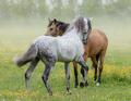 Spanish stallion and mare on summer pasture. - PhotoDune Item for Sale