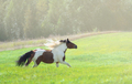 Paint horse galloping across summer green meadow. - PhotoDune Item for Sale