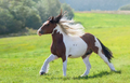 Gypsy horse galloping across summer green field. - PhotoDune Item for Sale
