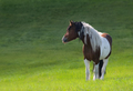Mustang horse stand on green meadow. - PhotoDune Item for Sale