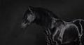 Black Pura Spanish stallion on dark background. - PhotoDune Item for Sale