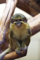 Gabon talapoin on a tree - PhotoDune Item for Sale