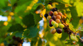 Grapes growing in southern Europe - PhotoDune Item for Sale
