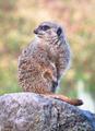 Meerkat Sitting on a Rock - PhotoDune Item for Sale