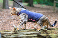 Bengal Cat in a Harness in England - PhotoDune Item for Sale