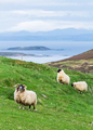 Sheep Grazing in a Grassy Field on the Coast in Scotland - PhotoDune Item for Sale