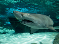 Wide angle, underwater view of sand tiger shark, carcharias taurus. - PhotoDune Item for Sale