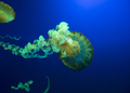 Colorful glowing pacific sea nettle, chrysaora fuscesens in deep blue water. - PhotoDune Item for Sale