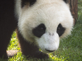 Panda Goes On A Background Of Green Grass. - PhotoDune Item for Sale