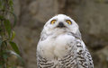 Snowy Owl Bubo Scandiacus Or Nyctea Scandiaca Sitting On A Stick. - PhotoDune Item for Sale