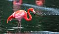 Caribbean Flaming Wading in Water - PhotoDune Item for Sale