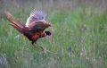 Common Pheasants Fighting in a Grassy Field in Scotland - PhotoDune Item for Sale