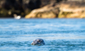 Grey Seal in the Water at Port Wemyss, Scotland - PhotoDune Item for Sale