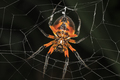 Tropical Red and Black Orb-Weaving Spider in Costa Rica - PhotoDune Item for Sale