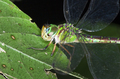 Dragonfly Resting on a Leaf at Night in Costa Rica - PhotoDune Item for Sale