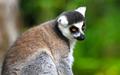 Ring-tailed Lemur Relaxing - PhotoDune Item for Sale