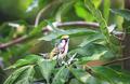 Chestnut-sided Warbler Bird in Belize - PhotoDune Item for Sale