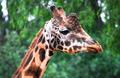 Giraffe Head Up Close - PhotoDune Item for Sale