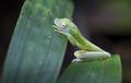 Scarlet-webbed Treefrog Sleeping in Costa Rica - PhotoDune Item for Sale