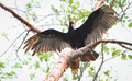 Turkey Vulture Spreading Its Wings in Belize - PhotoDune Item for Sale