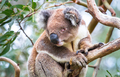 Koala in a Eucalyptus Tree in Australia - PhotoDune Item for Sale