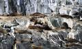 Group of Fur Seals on the Rocks in Tasmania - PhotoDune Item for Sale