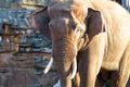 Asian Elephant Adult Standing - PhotoDune Item for Sale