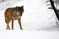 Wolf in winter - PhotoDune Item for Sale