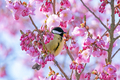 Great tit bird in a pink flowering cherry tree - PhotoDune Item for Sale