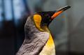 Emperor penguin - PhotoDune Item for Sale
