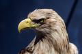 An eagle portrait - PhotoDune Item for Sale