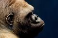 portrait of a gorilla - PhotoDune Item for Sale