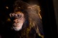 sad chimpanzee - PhotoDune Item for Sale