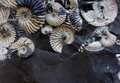 Fossilized seashells in a black stone - PhotoDune Item for Sale