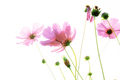 Pink cosmos with isolated background - PhotoDune Item for Sale