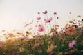 Cosmos in field with sunset - PhotoDune Item for Sale